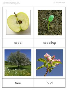 Great set of resources for studying the life cycle of an apple.