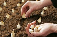 knoflook kweken http://www.tuinen.nl/artikel/4142