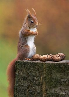 Which to eat first?  (red squirrel).  If you are patient, in a few weeks they'll be eating peanuts out of your hands