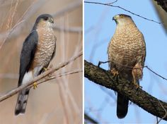 http://www.audubon.org/news/a-beginners-guide-iding-coopers-and-sharp-shinned-hawks