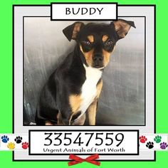 TO BE DESTROYED 04/24/17 ***REASON: MEDICAL*** BUDDY - 3 years old - Chihuahua Mix - 33547559 - Heartworm Positive, Temperament (had some issues, but kennel tech says he is much more friendly and social) - #33547559 - FOR MORE PICS, VIDEOS & INFO: http://www.dogsindanger.com/dog/1477531226738