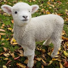 The lamb is a very curious animal. But a very happy and playful one at that. I can see why the were used to represent so much in the bible.