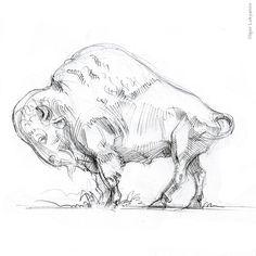 bison pencil sketch, american buffalo