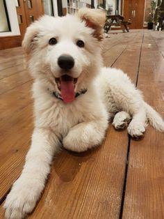 This is Bowie our 9 week old German Shepherd & office dog
