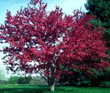 Profusion Crabapple*bright purple pink flowers in spring. Leaves are a rich coppery red. Extremely hardy, resisting disease & pests.   Not bothered by pollution or salt & is unattractive to browsing deer.   Not picky about soil type making it easy to grow in any location.Grows rounded,somewhat weeping 15-20 ft tall w/broad canopy no wider than 25 ft.