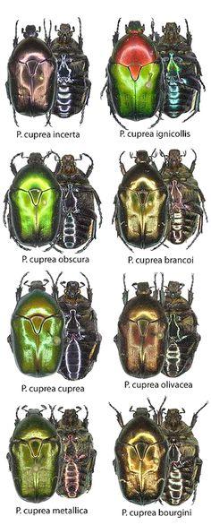Protaetia cuprea subspecies