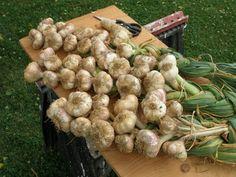 Thy Hand Hath Provided: Braiding Garlic