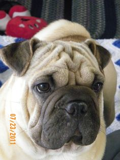 This is Rudy, our OriPei (Pug/SharPei mix).  What a wonderful dog!