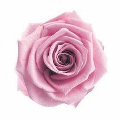 FL0100-61 Standard Rose / Lavender Pink