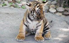 Tiger Cub Cutie!!