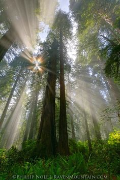 Redwood Forest, California. If I'm not mistaken some of the oldest trees on the planet are found here.