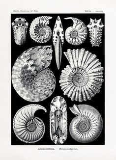 "magictransistor: ""Ernst Haeckel, A variety of Ammonite forms, Sea Shells & Ocean Corals; Kunstformen der Natur / Art Forms of Nature (Lithography, autotype prints), c. Art And Illustration, Ernst Haeckel Art, Art Et Nature, Natural Form Art, A4 Poster, Charles Darwin, Art Graphique, Antique Prints, Stretched Canvas Prints"