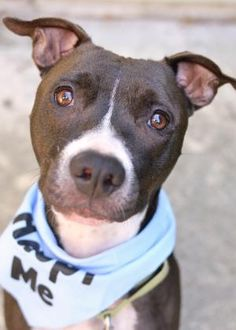#Petango.com – Meet Janey, a 1 year 7 months #Terrier, American #Pit Bull / Mix #dog available for #adoption in #LYNNWOOD, #WA