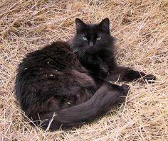 black tiffany kitties