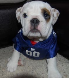 Adorable English Bulldog puppy in a NY Giants football jersey I m ok with  the giants but I prefer The BEARS d17ddd5d4