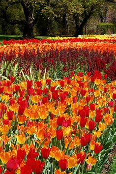 I like the idea of using lots of tulips in the grass and having that be the only flower in the grass all over