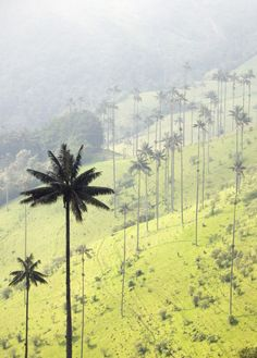 Valle de Cocora, near Salento Armenia, Colombia. The national tree of Colombia, the Wax Palm, pokes across the landscape and can grow to 60 meters and survive for 120 years. Places Around The World, The Places Youll Go, Places To See, Around The Worlds, Beautiful World, Beautiful Places, Magic Places, Colombia South America, Colombia Travel