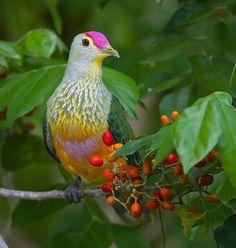 Rose-crowned fruit dove #Ptilinopus regina