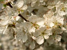 Prunus sogdiana at Hillier's Arboretum. Note the single style and many stamens.