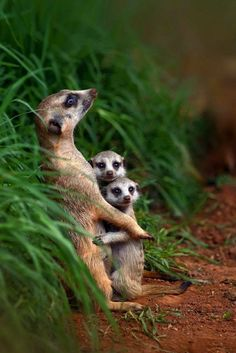 meerkat family. (KO) Naughtiest babies on the planet. They will run this babysitter ragged before the family is back from a hunting trip. Naughty!