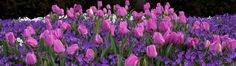 We do commercial properties, too.  Beautiful tulips for spring color year after year.