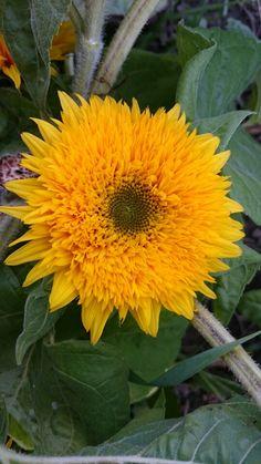 Teddy bear Bloom, Teddy Bear, Plants, Summer, Summer Time, Summer Recipes, Teddybear, Plant, Planting
