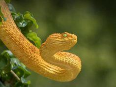 Japanese Wisteria   San Diego Zoo Animals & Plants Snake Wallpaper, Animal Wallpaper, Apple Wallpaper, Reptiles, Lizards, Snake Spirit Animal, Snake Images, Baby Snakes, Snake Shedding