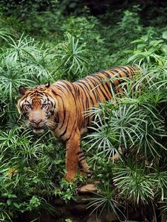 Over the past 100 years, tigers have lost 93% of their historic range, and have been extirpated from southwest and central Asia, from the islands of Java and Bali, and from large areas of Southeast and Eastern Asia. Veja também: http://semioticas1.blogspot.com.br/2012/10/lista-vermelha-da-extincao.html