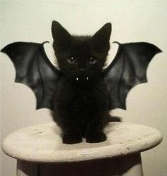 Bat Cat! I'm only pinning this because Gillen is begging me!!!!  For the record, bats are hideous- even when they are kittens.