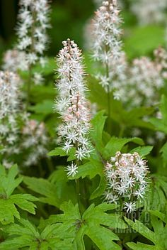 tiarella, a nice ground cover for a shady spot. This could be used in either the shade garden or the forest garden. Or maybe the porcelain garden... or all three!