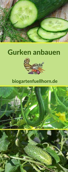 So kannst Du Gurken in Deinem Garten anbauen. Lies hier, um mehr zu erfahren. #gurkenanbauen #anbauvongurken #gurkengarten
