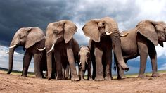 Cómo convierten el excremento de elefante en papel de calidad
