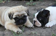 Cute Pug Puppy & Friend