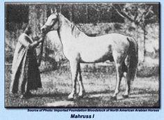 Mahruss   ( g.1875)   Wazir x Mahroussa Wazir was a famous son of Zobeyni.