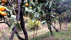 Мандариновый сад - YouTube