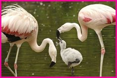 did you know?! the original pink ladies, otherwise known as #female #flamingos ;) apply a naturally secreted reddish pigment to make their #color brighter to attract mates. see, we all aren't so different after all!