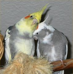 awwww, this makes me wanna get sunny a wife-bird :)