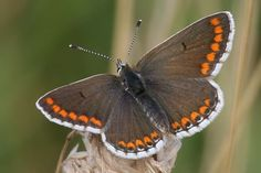 brown argus butterfly - Google Search