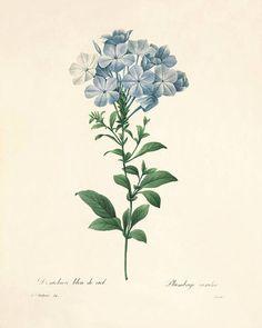 Vintage Flower Prints, Vintage Botanical Prints, Botanical Drawings, Antique Prints, Botanical Art, Vintage Flowers, Vintage Botanical Illustration, Antique Art, Vintage Floral
