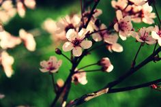 #april #blossom time #branches #cherry #fragrance #green #macro #nostalgia #pink #red #spring #spring fever #sweet #warm