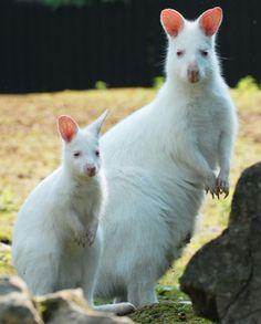 albino animals - kanguroo