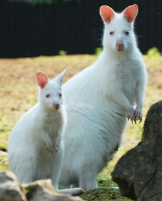 Albino Wallabies #wild #animals