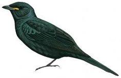 Black Cuckoo-shrike (Campephaga flava)