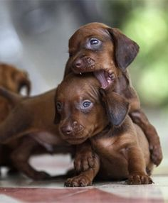 I have a part dachshund dog.one day I want a real one. I have a part dachshund dog.one day I want a real one. Dachshund Funny, Dachshund Puppies, Weenie Dogs, Dachshund Love, Cute Puppies, Cute Dogs, Daschund, Doggies, Dapple Dachshund