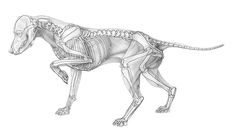 The muscle anatomy of a dog and his skeleton which I had to reconstruct. After reconstructing the skeleton it was merged in different ways with the muscle drawing.