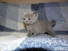 koty brytyjskie niebieskie , krótkowłose « Brytyjski « Koty « Archiwum :: Zoomia pl
