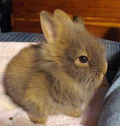 Nibbles ( Lionhead Rabbit ) Lionhead Rabbit, Bunnies, Cute, Cotton, Animals, Rabbits, Animales, Animaux, Kawaii