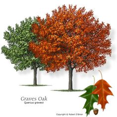Graves Oak (Chisos Red Oak) Texas native, seeds or fruit eaten by wildlife Features:	Fall color is yellow to red. Comments: Native to the mountains around Big Bend. Problems:	Could be hard to find in nurseries.