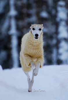 Happy Whippet in fluffy yellow jumper. This is a must for any Yorkshire board, a whippet and a knitted woolly jumper in the snow. Beautiful Dogs, Animals Beautiful, I Love Dogs, Cute Dogs, Funny Dogs, Funny Animals, Cute Animals, Wild Animals, Baby Animals