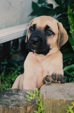 "The breed is commonly referred to as the ""Mastiff"". Also known as the English Mastiff this giant dog breed gets known for its splendid, good nature. Giant Dog Breeds, Giant Dogs, Large Dog Breeds, Mastiff Breeds, Mastiff Dogs, Fierce Animals, Cute Animals, Animals Dog, Dogs"